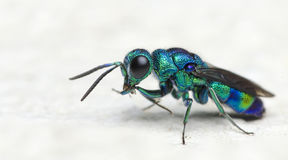 Пчела красивая, оса кукушки стоковые изображения rf
