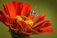 Пчела кукушки на лету Стоковое Изображение RF