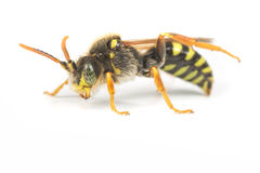 Пчела кукушки Nomada Стоковое Изображение