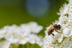 Пчела макроса на цветках Стоковые Изображения