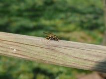 Пчела макроса стоковая фотография