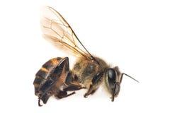 пчела мертвая Стоковая Фотография