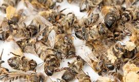 пчела мертвая Стоковое Изображение