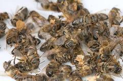 пчела мертвая Стоковое Изображение RF