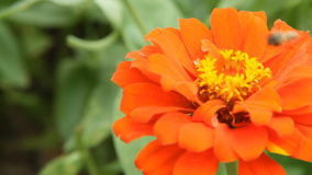 Пчела меда в оранжевом цветке zinnia сток-видео