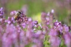 Пчела меда в душице Стоковое Фото