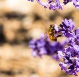 Пчела меда в цветке лаванды Стоковые Фотографии RF
