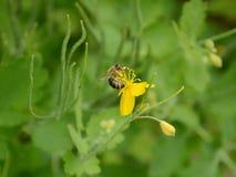 Пчела меда есть нектар от celandine Стоковое фото RF