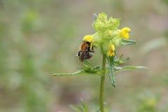 Пчела меда ест обед Стоковые Изображения
