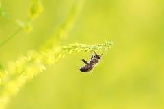 пчела меда летает до желтого цветка для нектара Стоковые Фото