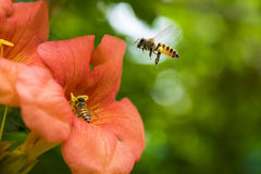 Пчела меда летания собирая цветень от оранжевых radicans Campsis цветет Стоковое Фото