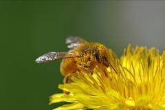 Пчела меда идя через желтый цветок Стоковая Фотография