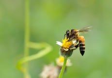 Пчела меда к цветку и собирает нектар Стоковое Изображение
