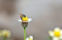 Пчела меда к цветку и собирает нектар Стоковые Фотографии RF