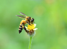 Пчела меда к цветку и собирает нектар Стоковая Фотография RF