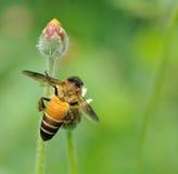 Пчела меда к цветку и собирает нектар Стоковое Изображение RF