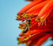 Пчела меда накидки Стоковая Фотография