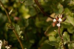 Пчела меда на белом цветке Стоковое Изображение
