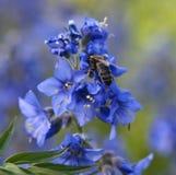 Пчела меда на голубом цветке Стоковое Изображение RF