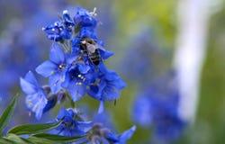 Пчела меда на голубом цветке Стоковая Фотография RF