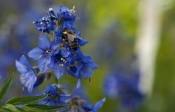 Пчела меда на голубом цветке Стоковые Фотографии RF
