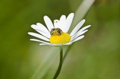 Пчела меда на маргаритке Стоковые Фото