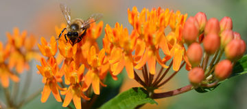 Пчела меда на оранжевом цветке засорителя бабочки Стоковые Фото