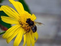 Пчела меда на работе стоковые фотографии rf