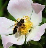 Пчела меда на собаке Розе Стоковое Изображение