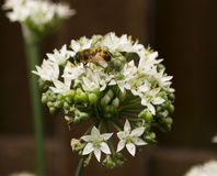 Пчела меда на луках белого цветка одичалых Стоковое фото RF