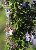 Пчела меда на цветках Rosmary Стоковые Фото