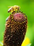 Пчела меда на цветке Стоковые Изображения