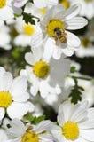 Пчела меда на цветке Стоковая Фотография