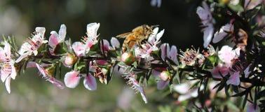 Пчела меда на цветке Manuka Стоковые Изображения RF