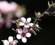 Пчела меда на цветке Manuka Стоковая Фотография RF
