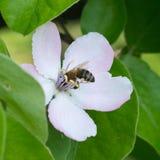 Пчела меда на яблоне цветет крупный план цветения Стоковые Фотографии RF