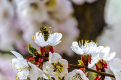 Пчела меда на Blossoming цветке дерева абрикоса Стоковое Фото