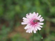 Пчела меда на Crepis Rubra - Пелопоннесе, Греции Стоковые Изображения RF