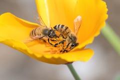 Пчела меда опыляя на желтом цветке мака Стоковые Изображения RF