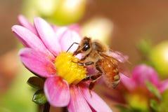 Пчела меда собирая нектар Стоковая Фотография