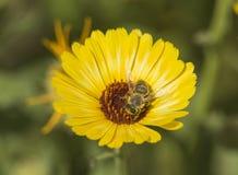 Пчела меда собирая цветень на желтом цветке маргаритки Стоковое Изображение RF