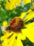 Пчела меда собирая цветень на красном цветке невесты солнца, autumnale Helenium Цветок арники в саде оса Стоковое Изображение
