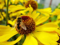 Пчела меда собирая цветень на красном цветке невесты солнца, autumnale Helenium Цветок арники в саде оса Стоковое Фото