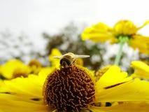 Пчела меда собирая цветень на красном цветке невесты солнца, autumnale Helenium Цветок арники в саде оса Стоковая Фотография RF