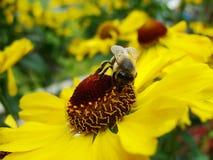 Пчела меда собирая цветень на красном цветке невесты солнца, autumnale Helenium Цветок арники в саде оса Стоковое фото RF