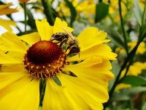 Пчела меда собирая цветень на красном цветке невесты солнца, autumnale Helenium Цветок арники в саде оса Стоковая Фотография