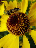 Пчела меда собирая цветень на красном цветке невесты солнца, autumnale Helenium Цветок арники в саде оса Стоковые Фотографии RF