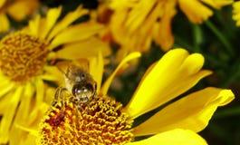 Пчела меда собирая цветень на красном цветке невесты солнца, autumnale Helenium Цветок арники в саде оса Стоковые Изображения