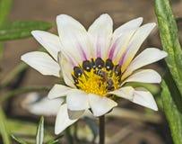 Пчела меда собирая цветень на цветке белой маргаритки Стоковые Изображения RF