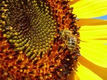 Пчела меда стоя на солнцецвете Стоковое фото RF